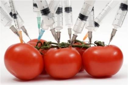 tomates-gmo